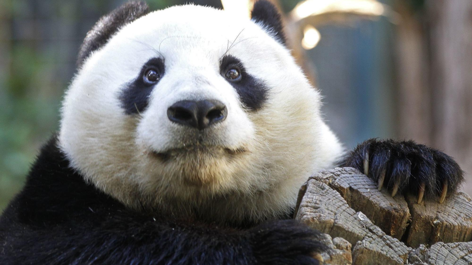Last pandas at San Diego Zoo are leaving