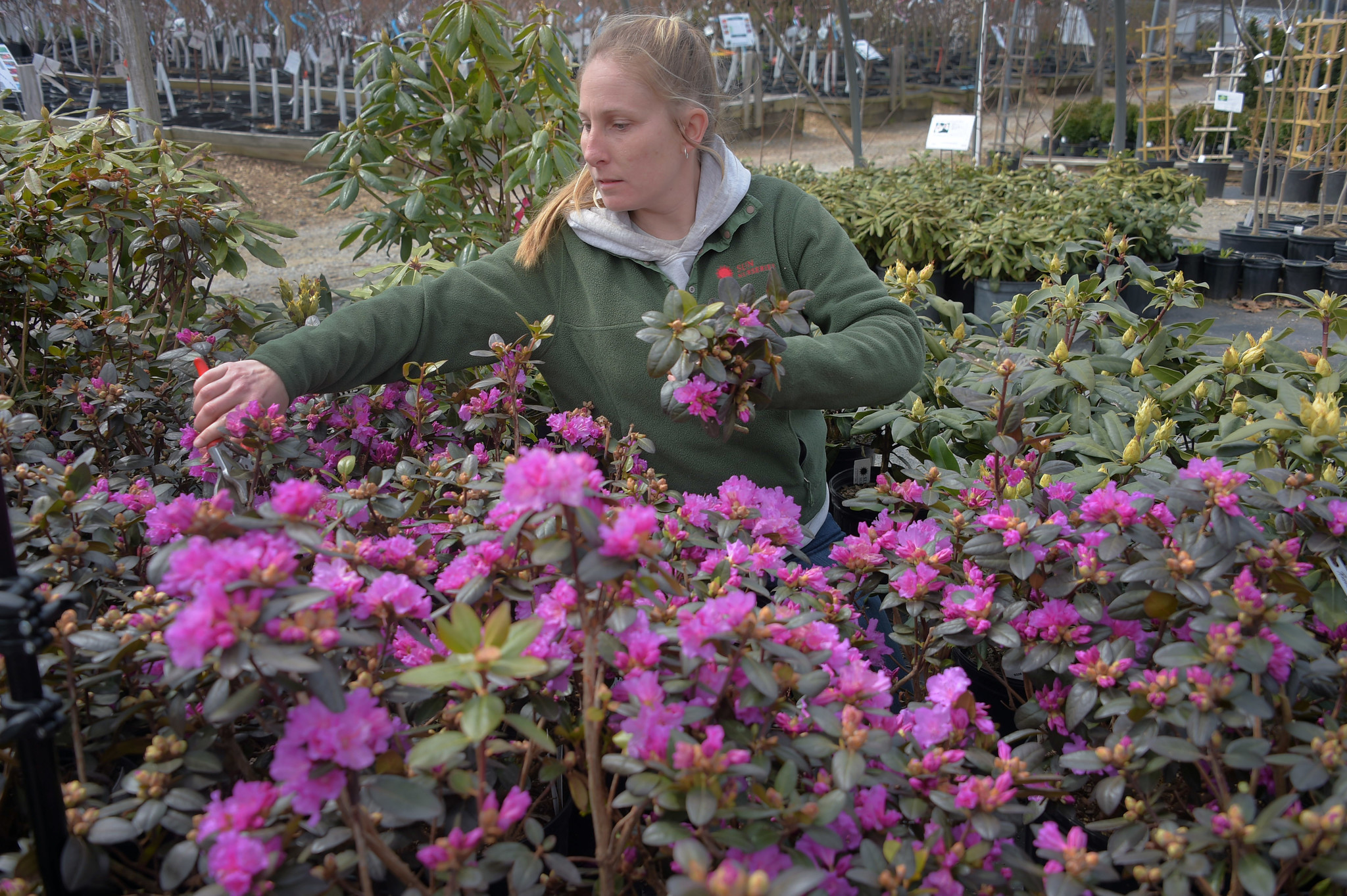 Woodbine, MD — 04/11/2018 — Kim Dazzo, nursery supervisor at Sun Nurseries works among the PJM Eli