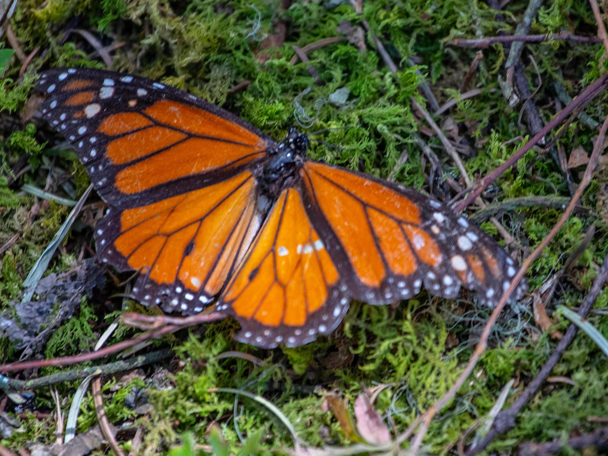Monarch Der Automatenschreck