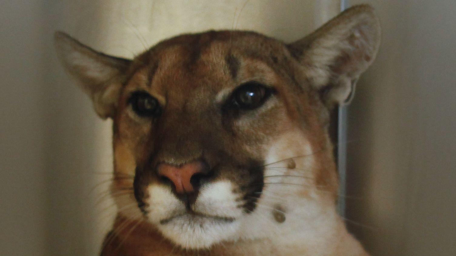 Mountain lion found taking a catnap in Pasadena backyard