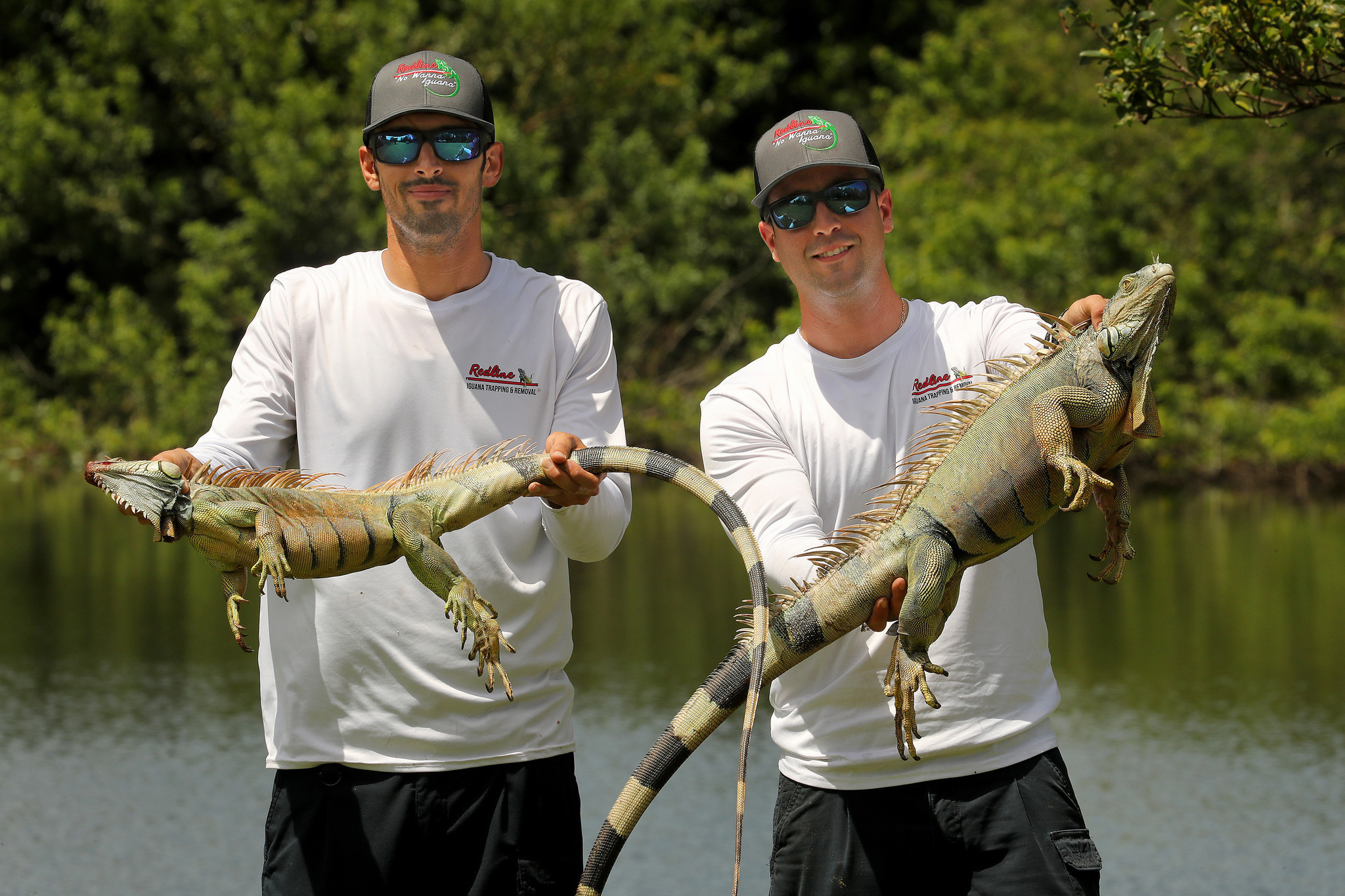 Iguanas Are Worse Than Ever And We Re Spending Big Bucks