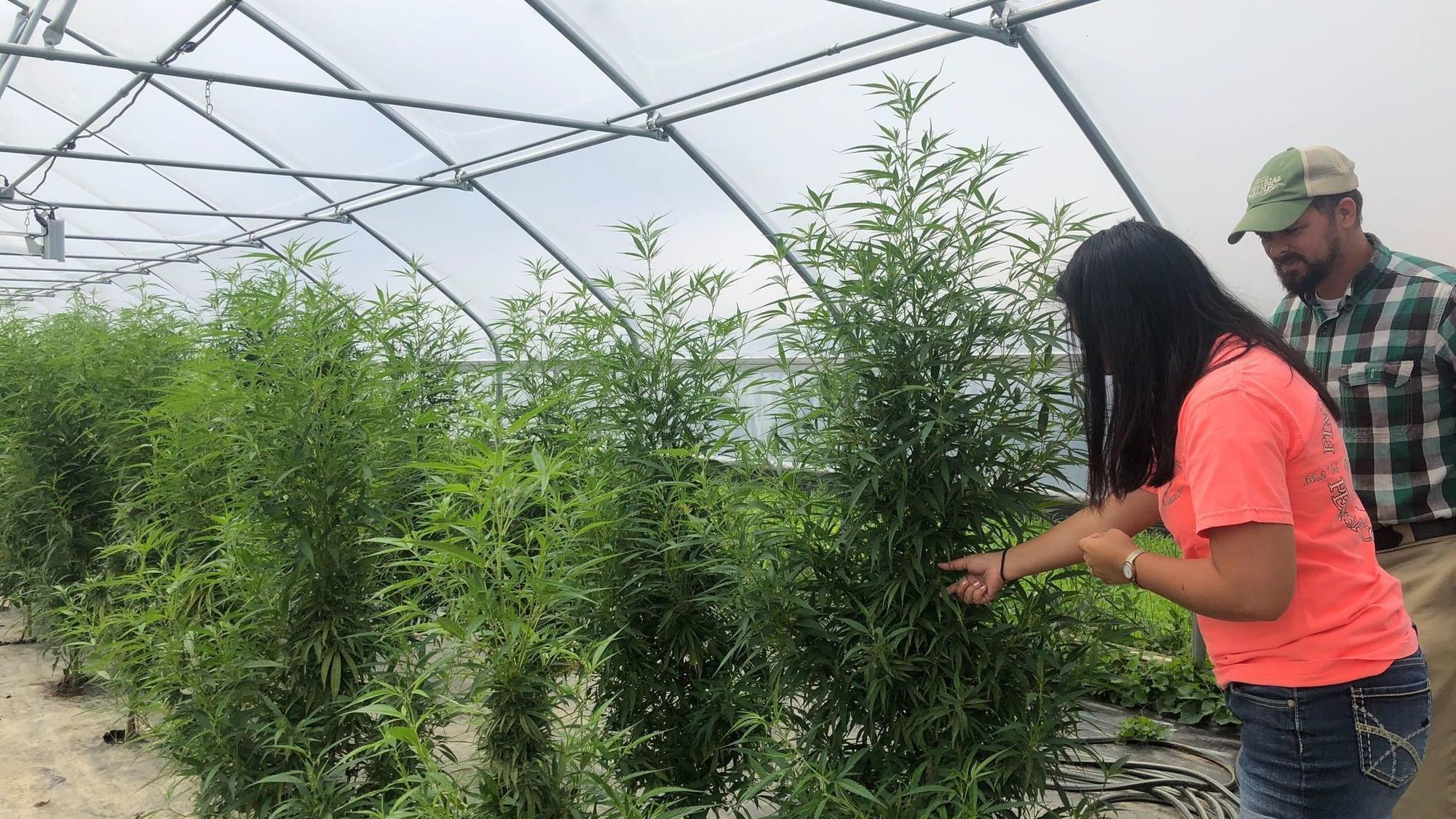 Healing with hemp: Glow Holistic's journey to harvesting in