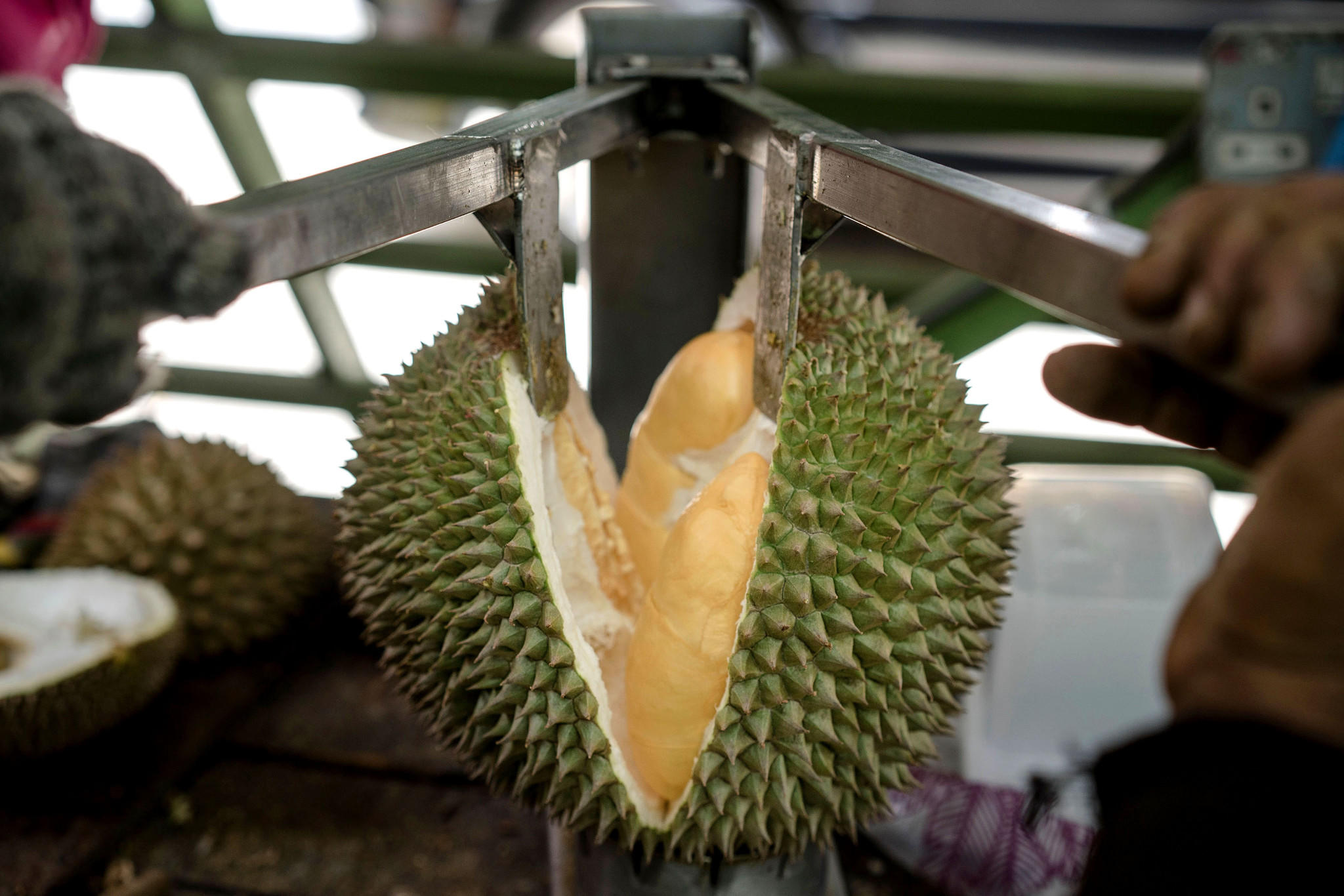 Decades ago, he stole a tree branch  Now he is the Durian