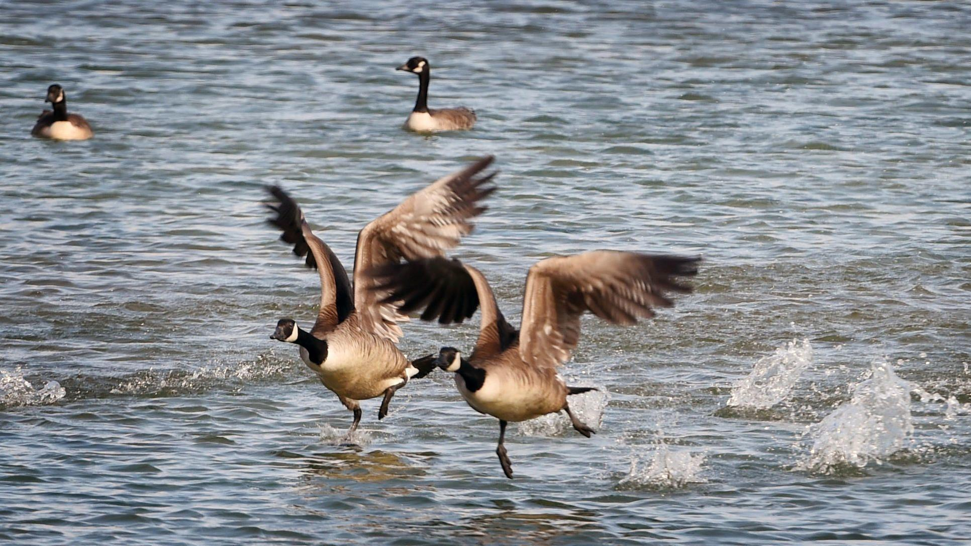 Maryland officials kill almost 400 geese as population booms