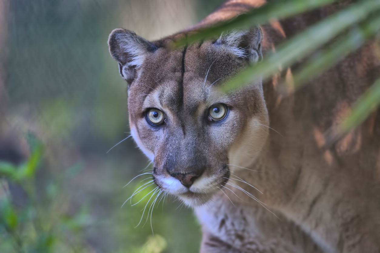 Florida officials suspect poison paralyzing panthers seen teetering through the brush