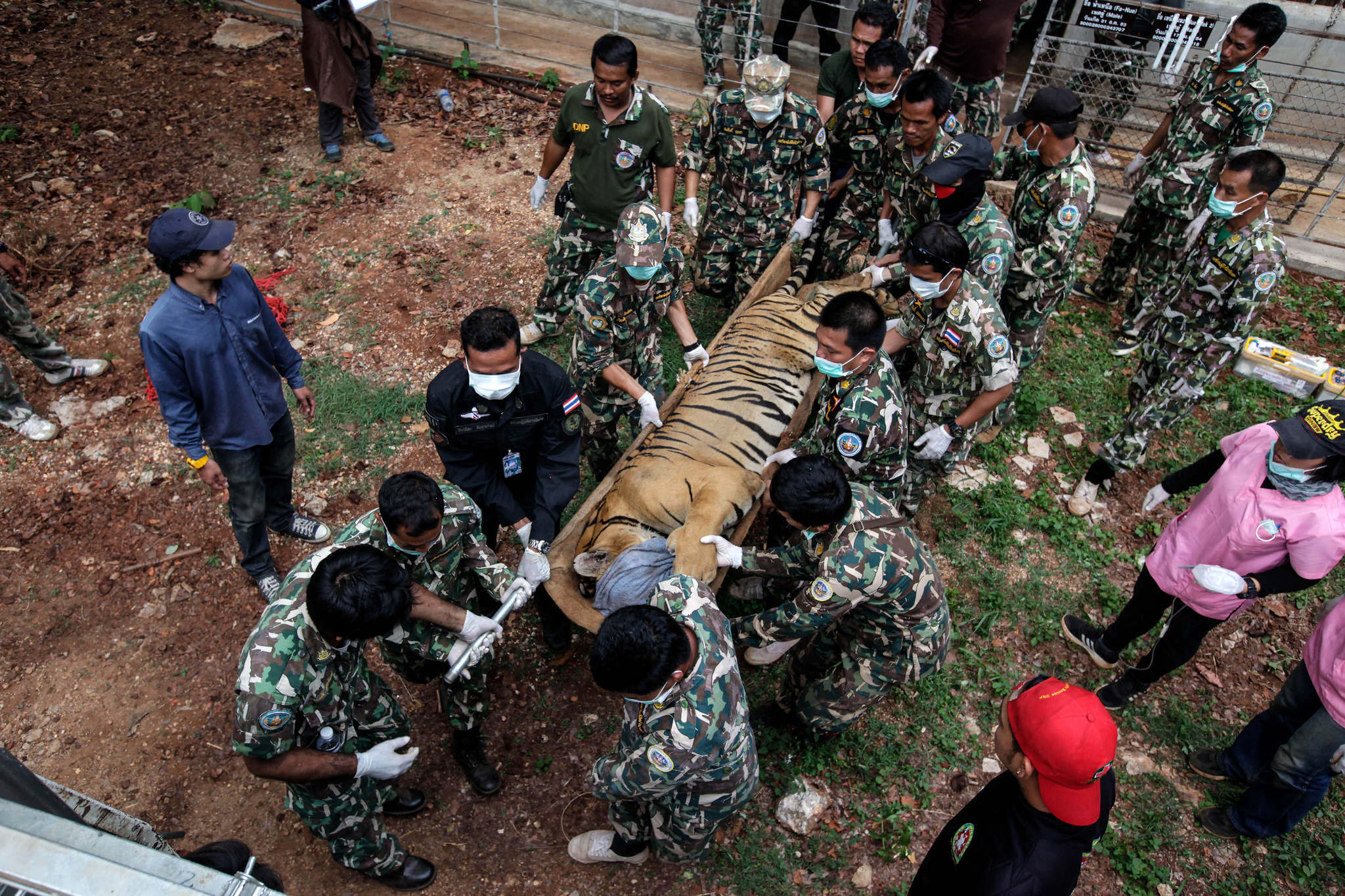 Half the tigers rescued from Thai temple reported dead