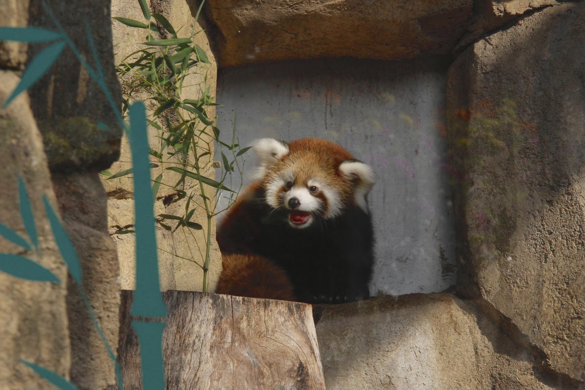 SEE IT: Baby red panda Kiki makes adorable debut at Milwaukee zoo