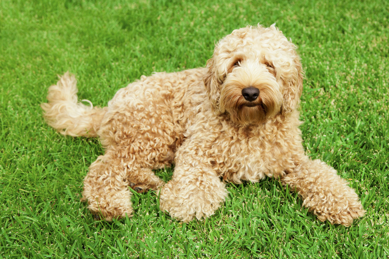 Creator of the labradoodle says it's his great regret: 'I opened a Pandora's box'