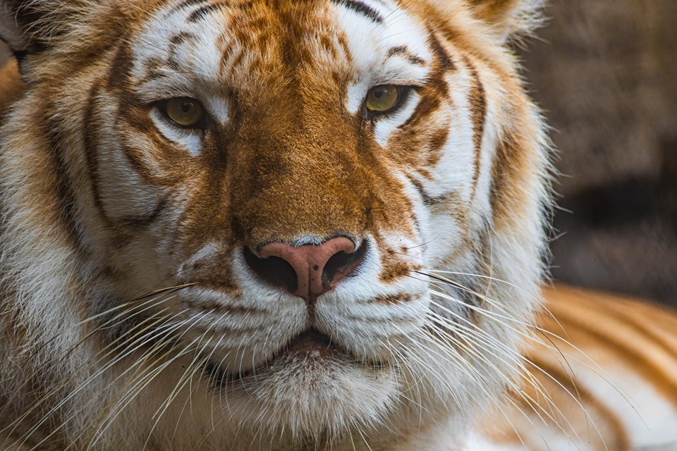 Tiger at Busch Gardens in Florida dies after 'interaction' with her brother