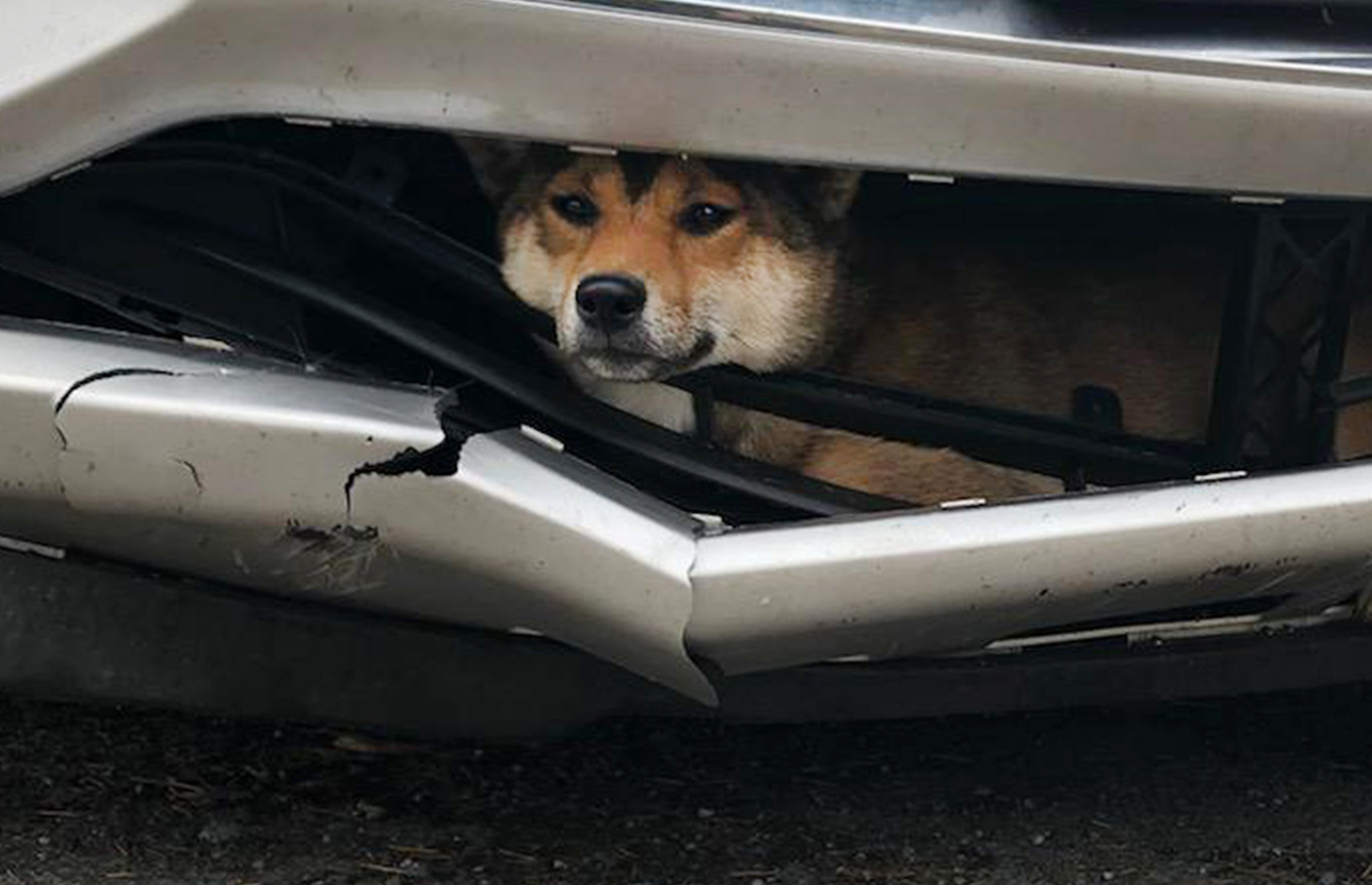 Dog survives after being wedged into car grill for miles before driver realizes it's there