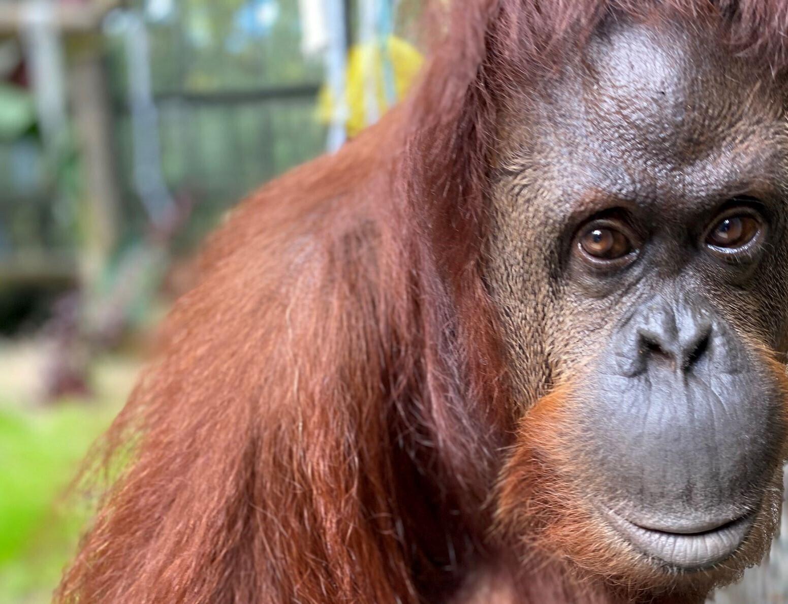 Orangutan granted legal personhood moves to Florida