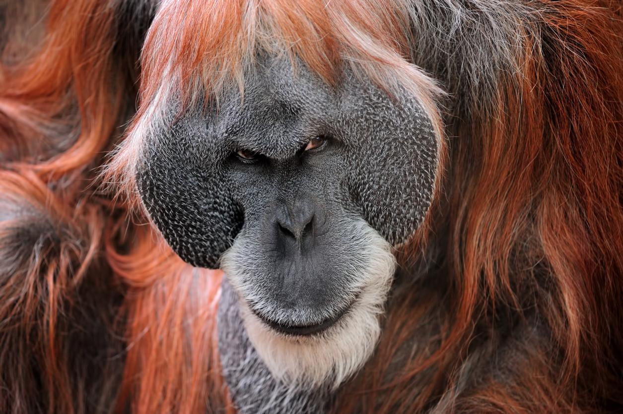 Ancient King Kong-like ape likely stood 10 feet tall: study