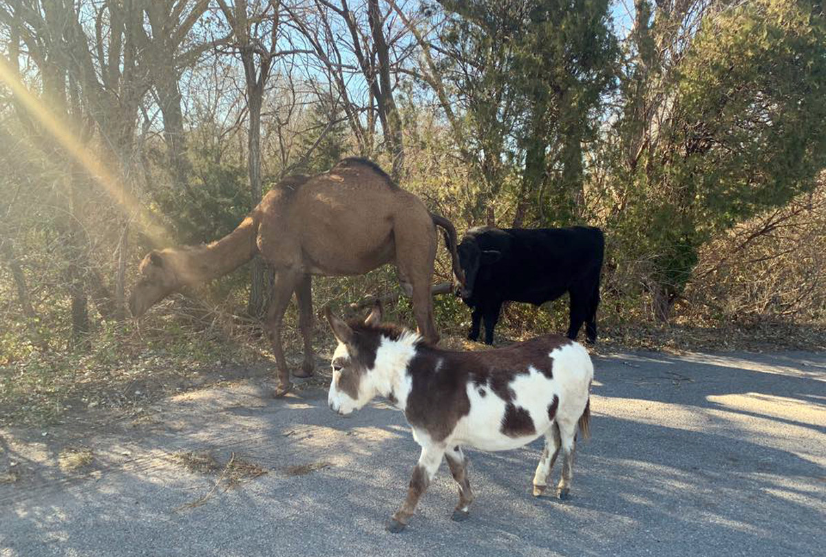Police in Kansas reunite runaway camel, cow and donkey with their owner