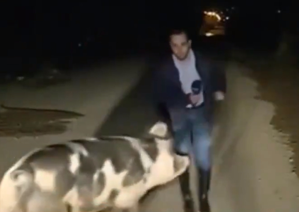 SEE IT: Besotted pig chases reporter in circles live on air