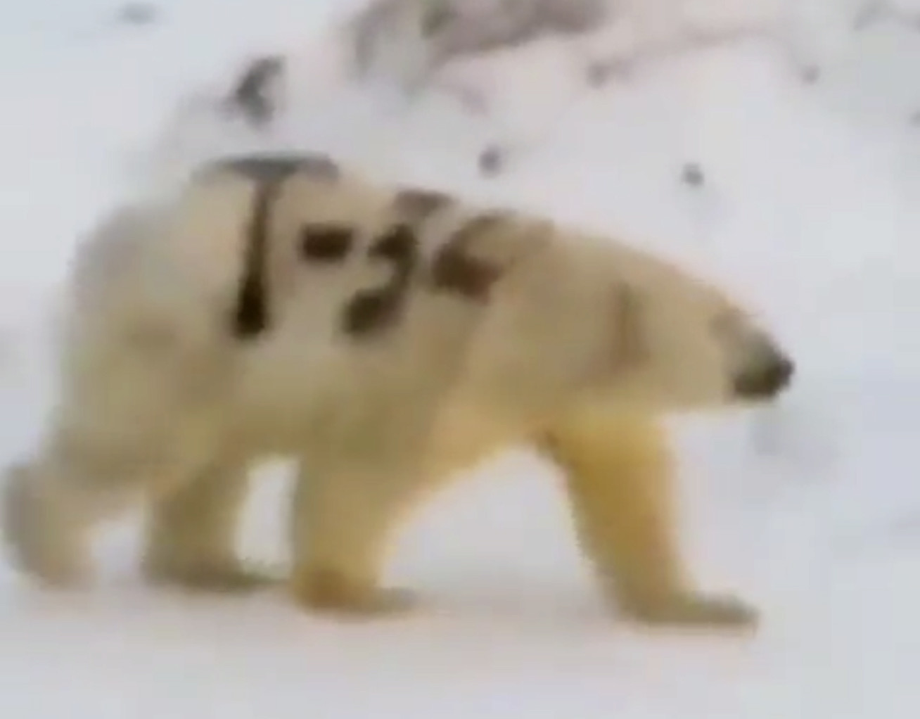 Wildlife experts baffled by spray-painted polar bear in Russia