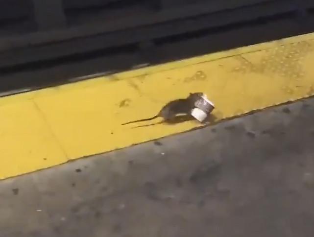 SEE IT: Coffee-loving rat drags cup across subway platform