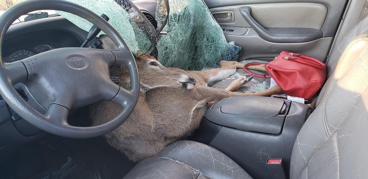 Deer jumps into moving car, lands on passenger seat