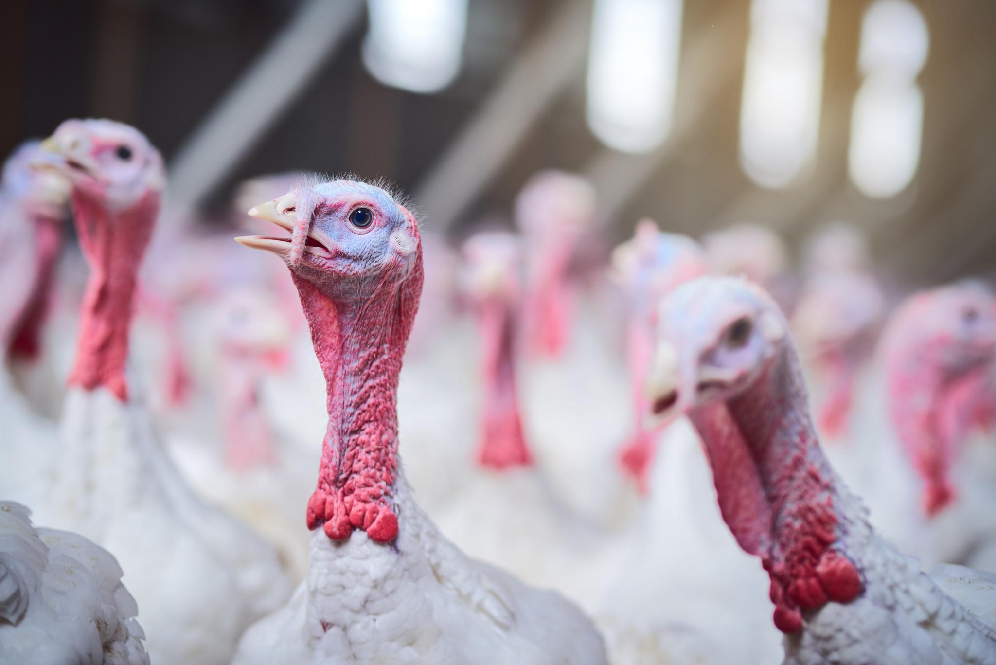 Bird flu kills 25,000 farmed turkeys in eastern Poland, thousands more culled
