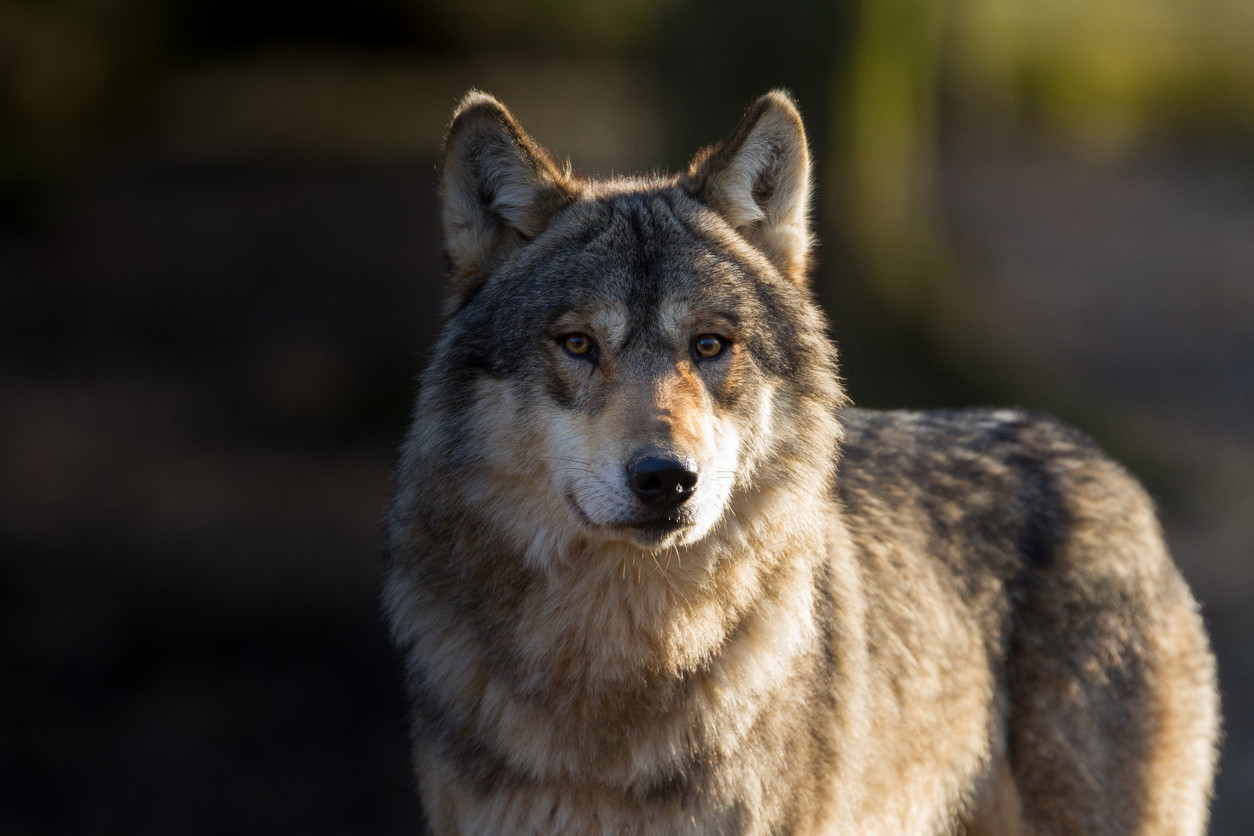 Endangered gray wolf dies in California after wandering 8,700 miles looking for new pack