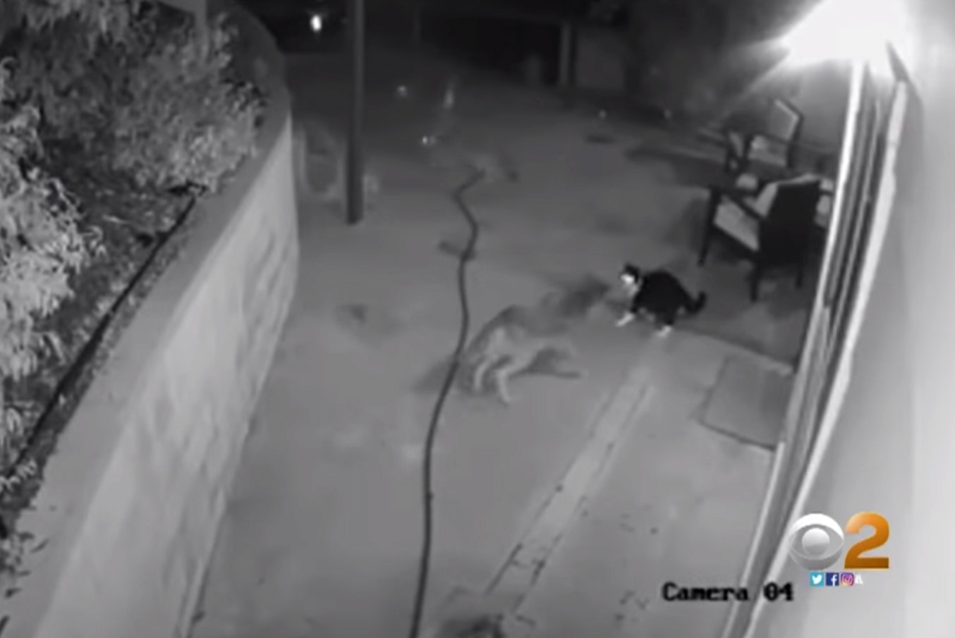SEE IT: House cat fights off three attacking coyotes at California home