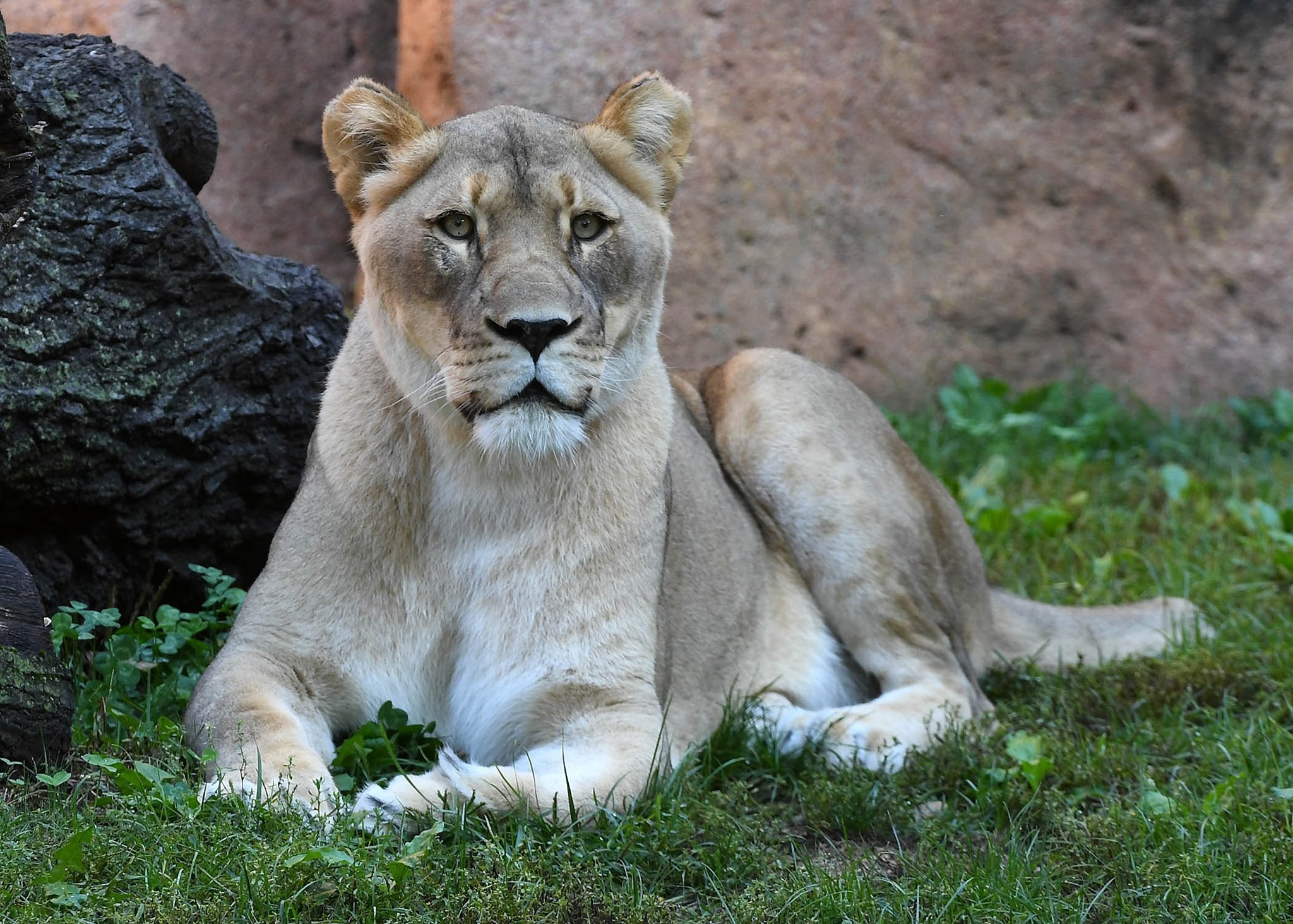 Lioness dies at Illinois zoo after suffering fall less than two weeks after mate's death