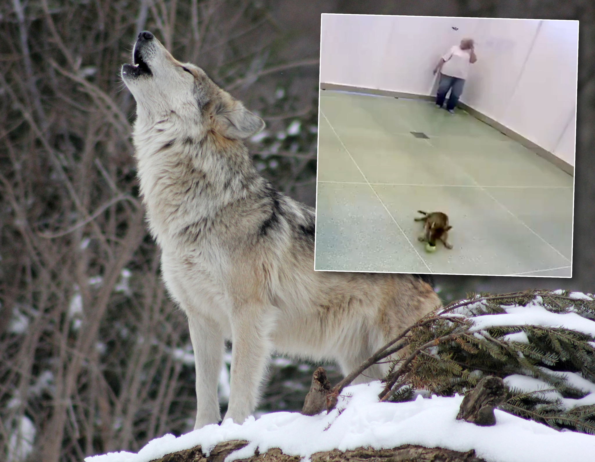 Wolves like playing fetch, too: study