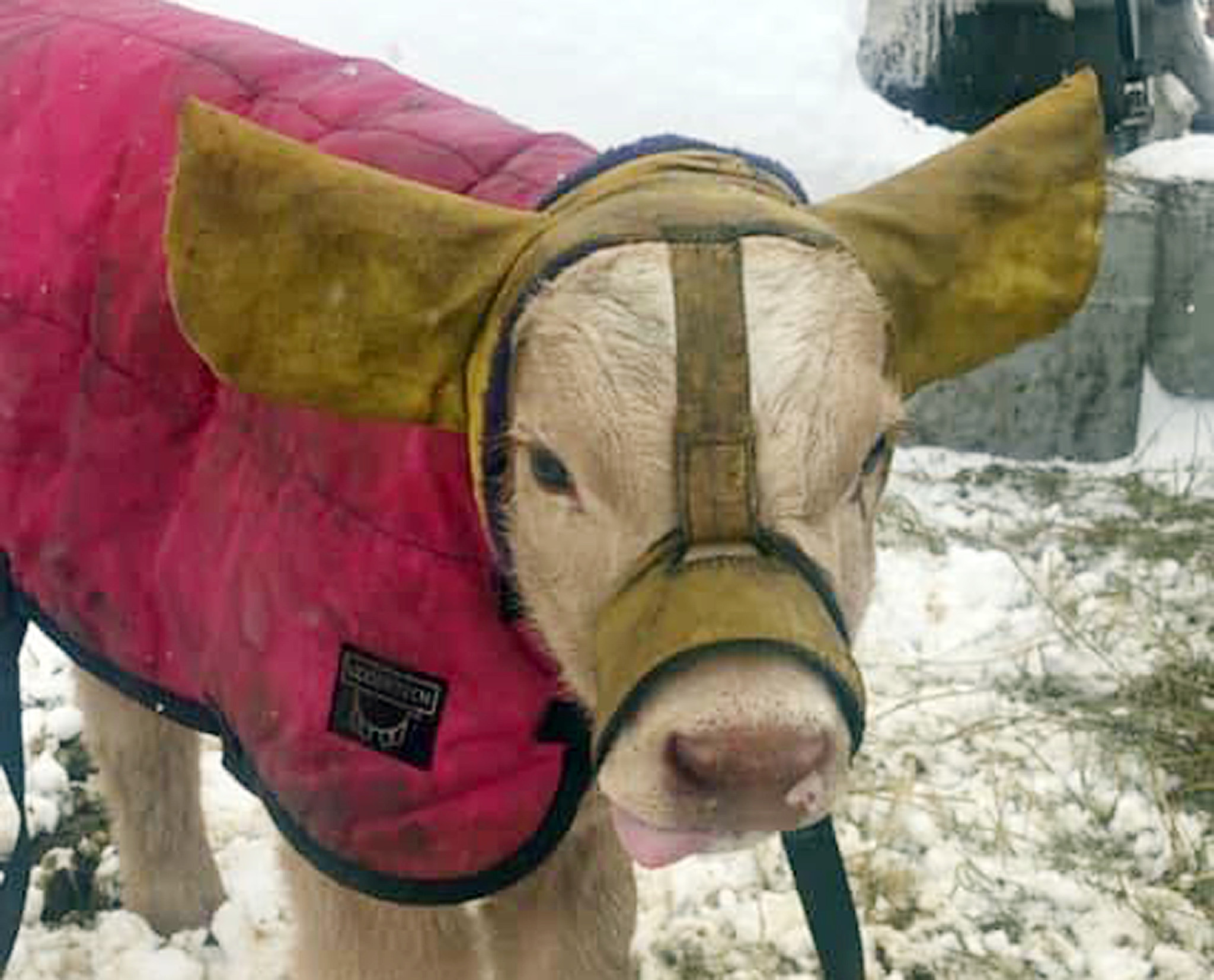 These adorable earmuffs for cows are a big hit