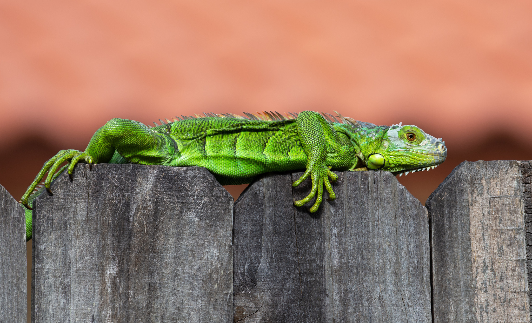 Floridians warned to watch out for falling iguanas at night