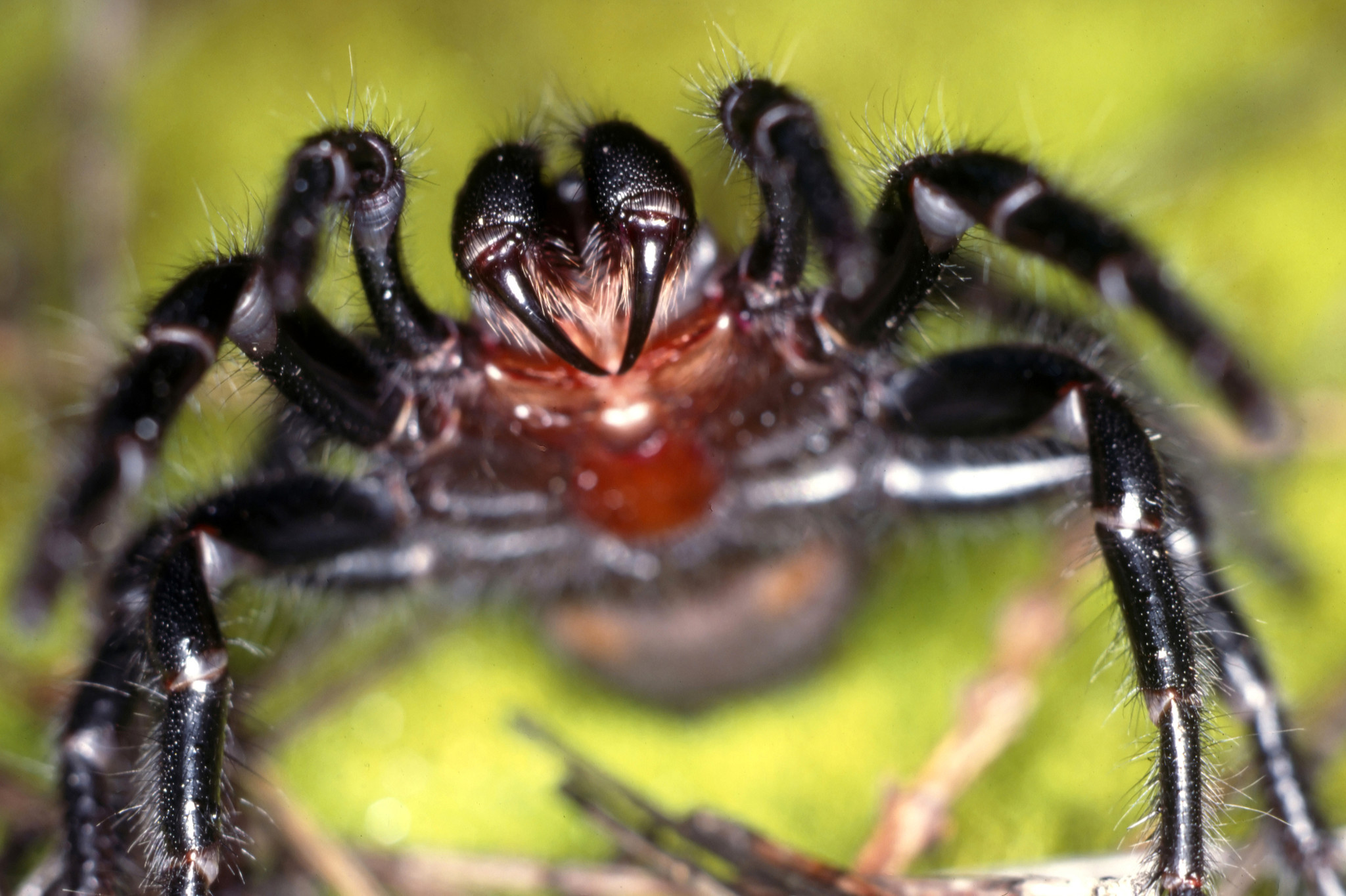 Venomous 'spider showers' are Australia's latest concern