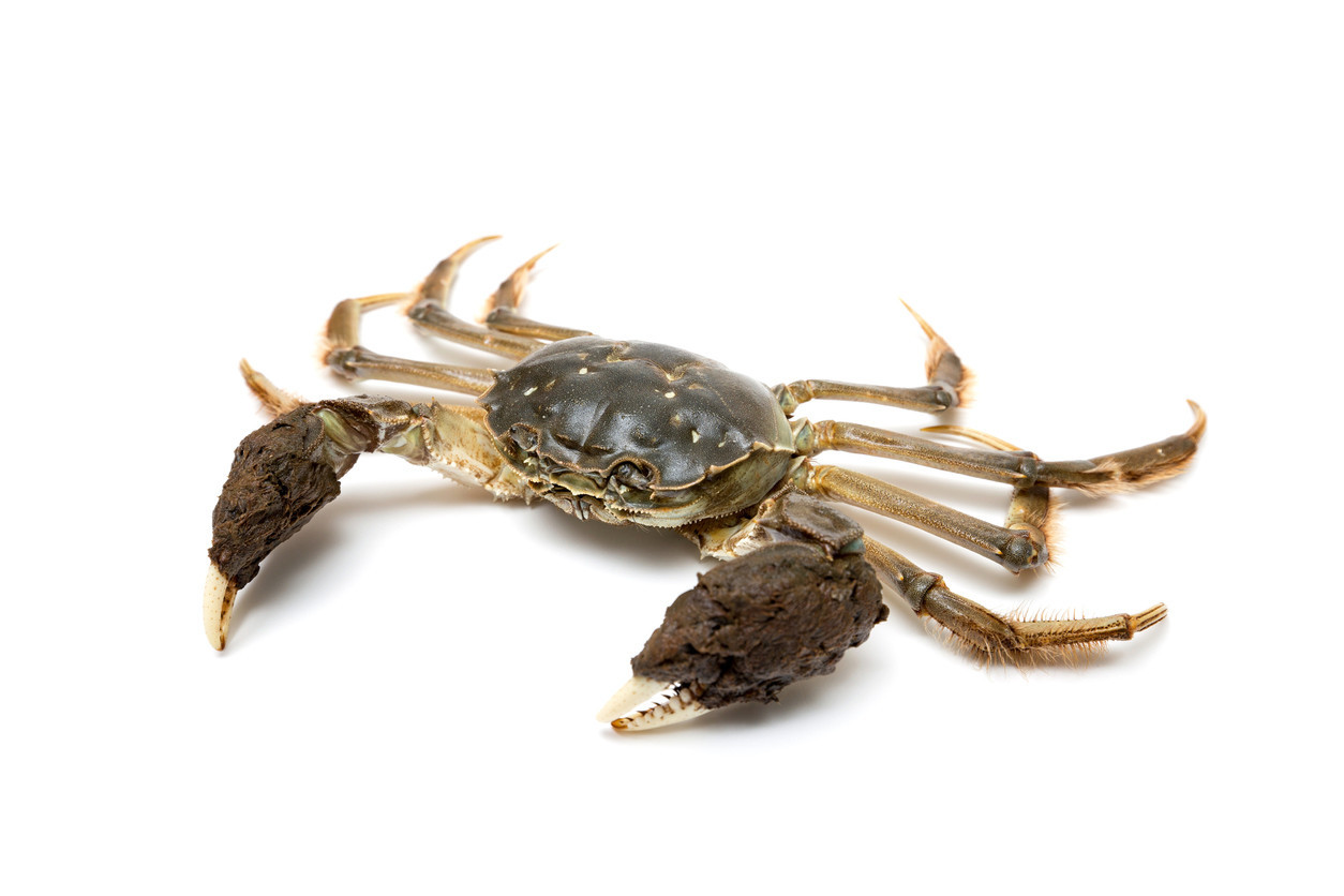 Smugglers keep trying to sneak thousands of expensive crabs into the U.S.