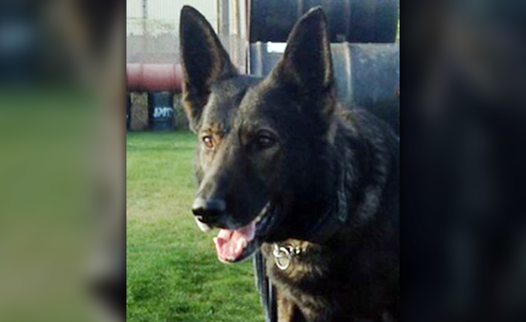 Retired Sacramento police dog dies after being diagnosed with lymphoma