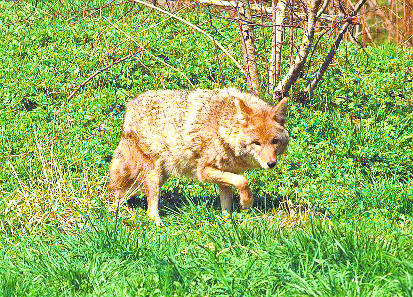 Watch out for coyotes in Central Park, warns NYPD