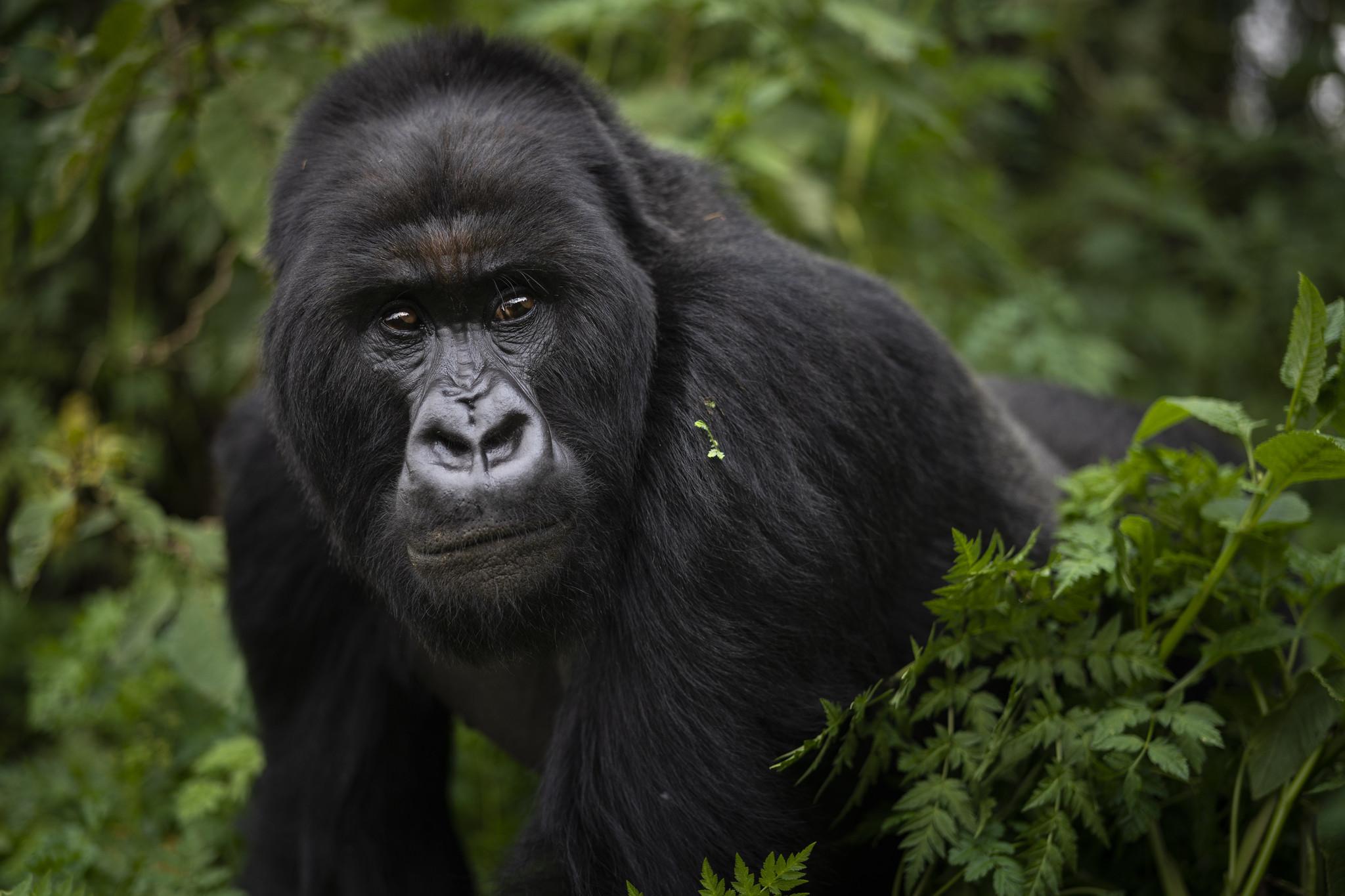 4 endangered gorillas killed by lightning strike in Uganda
