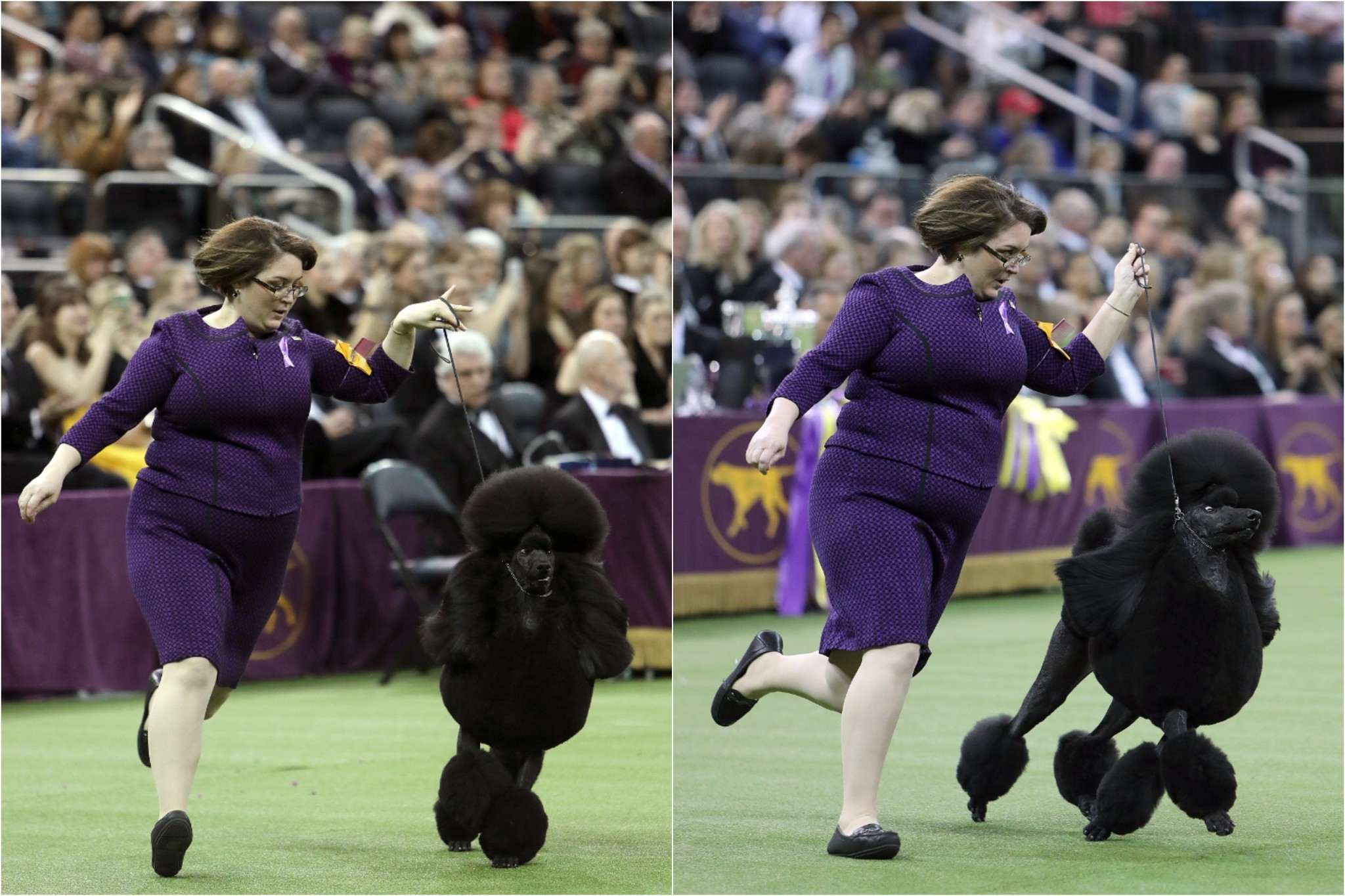 Siba the Poodle wins best in show at Westminster