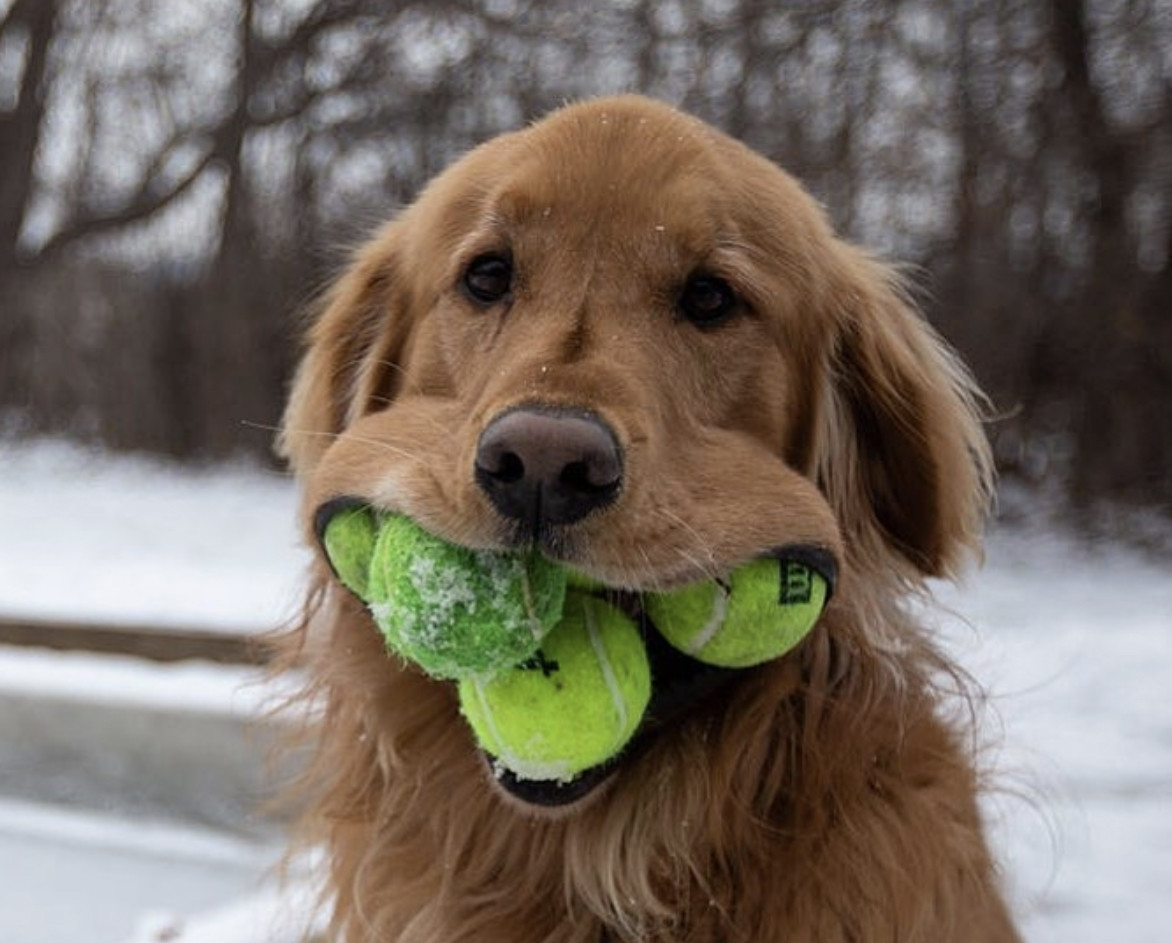 SEE IT: Upstate N.Y. dog tops world record by fitting 6 tennis balls in his mouth, owners say