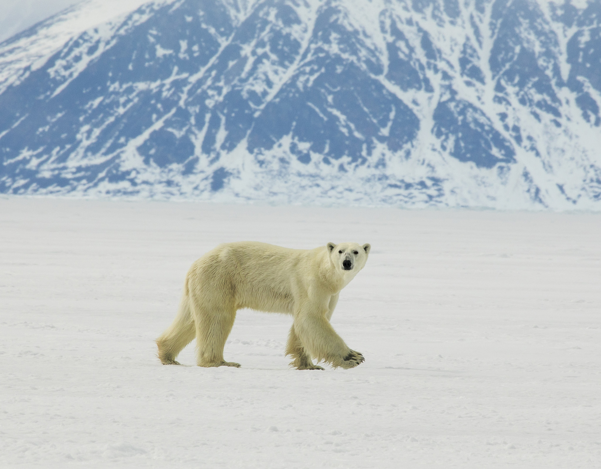 Polar bears are thinner and having fewer cubs as sea ice melts on Baffin Island