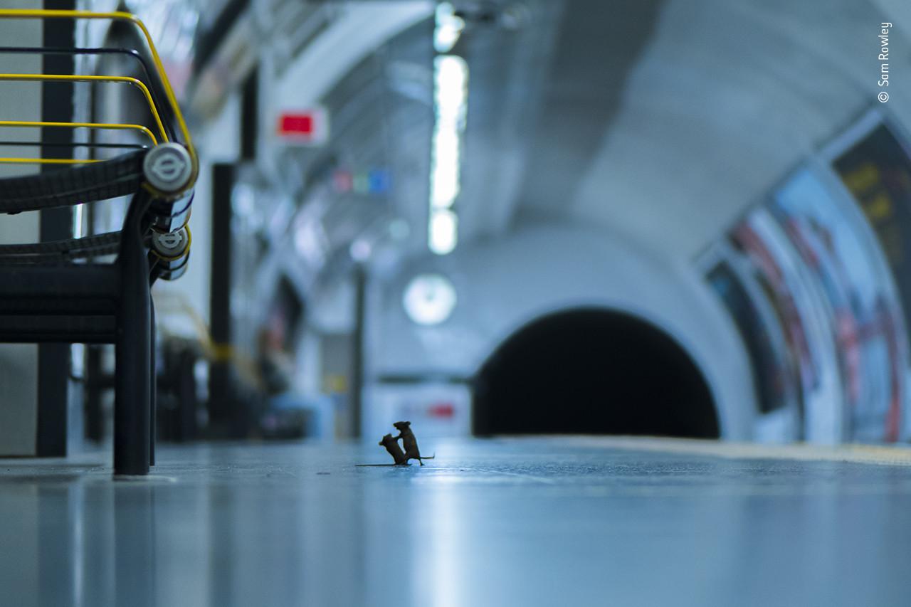 Picture of squabbling subway mice wins prestigious photography award