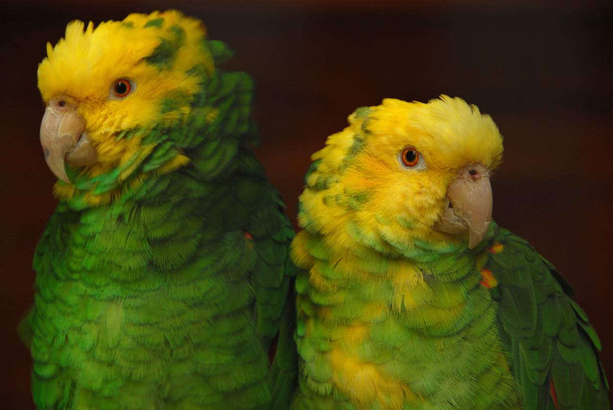 Pennsylvania man charged with smuggling parrots into U.S.