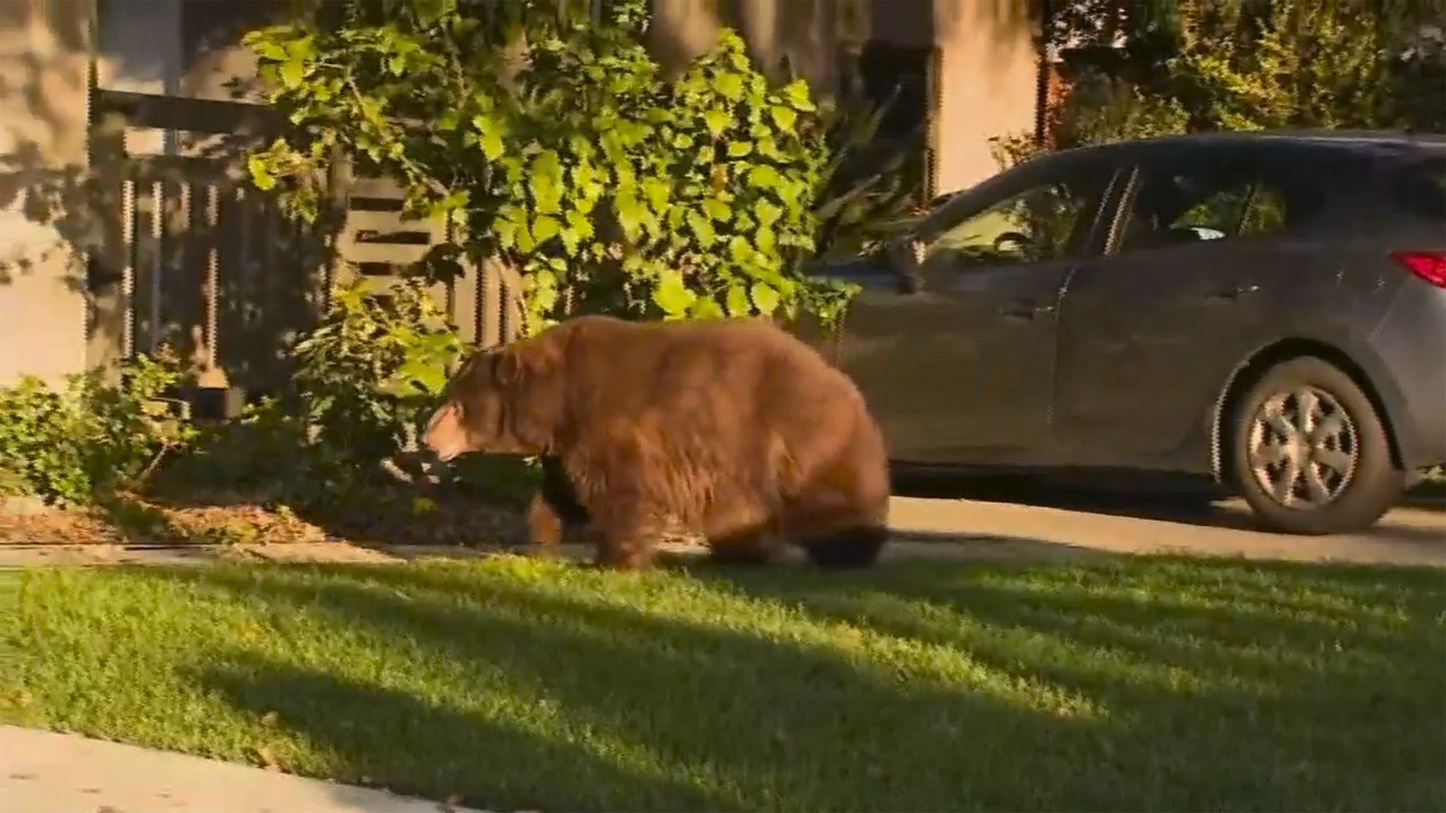 Big bear casually strolls through L.A. suburb looking for food, gets tranquilized and taken to forest