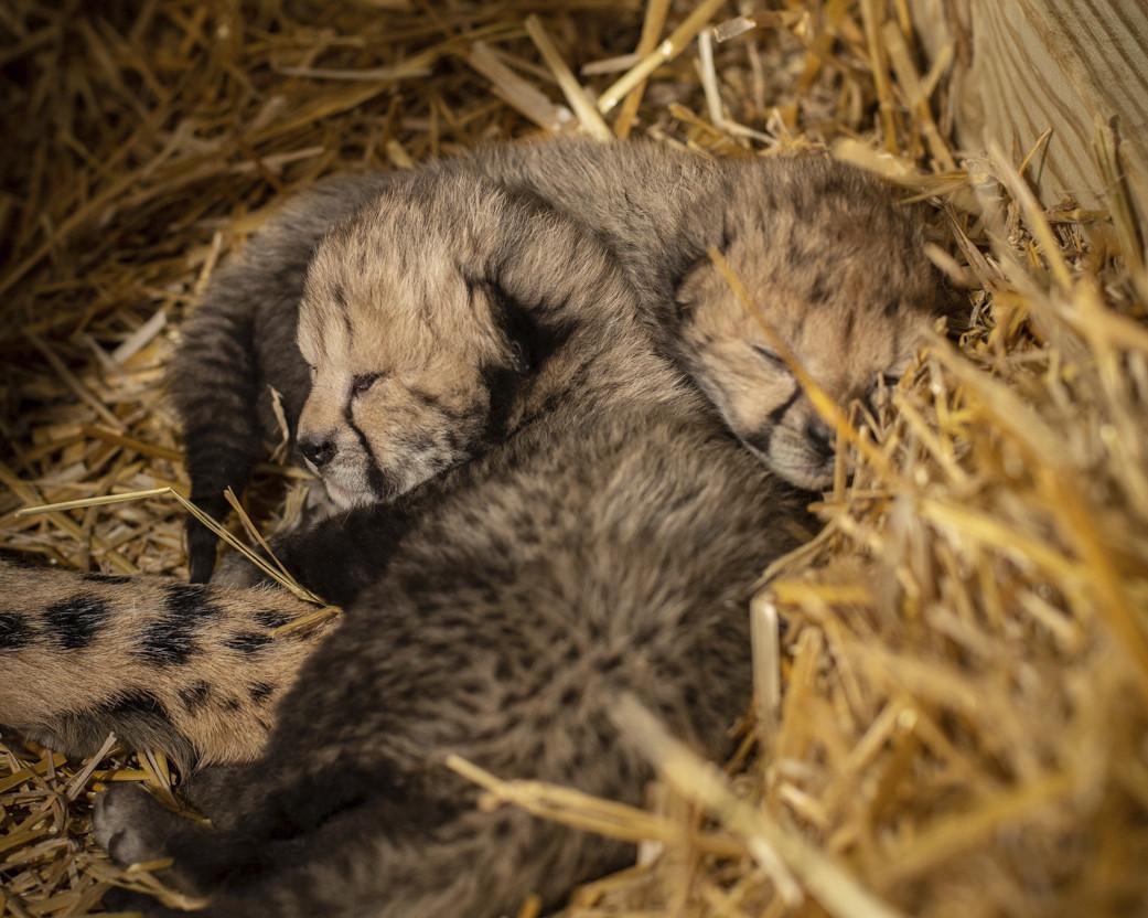 Columbus Zoo and Aquarium welcomes first-ever cheetah cubs born through IVF