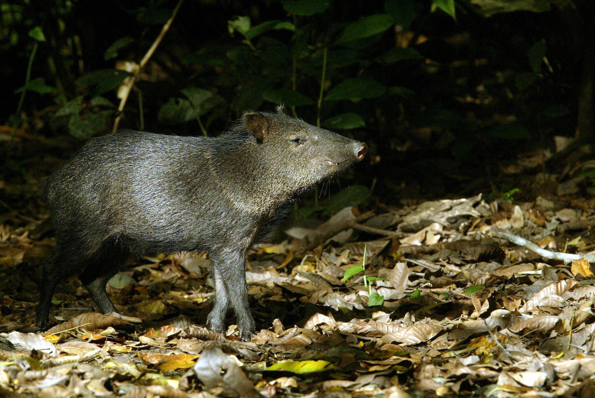 The internet is captivated by a very fast javelina