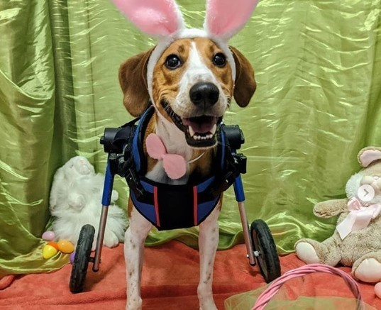 This 2-legged hound is in the running to be the next Cadbury Bunny