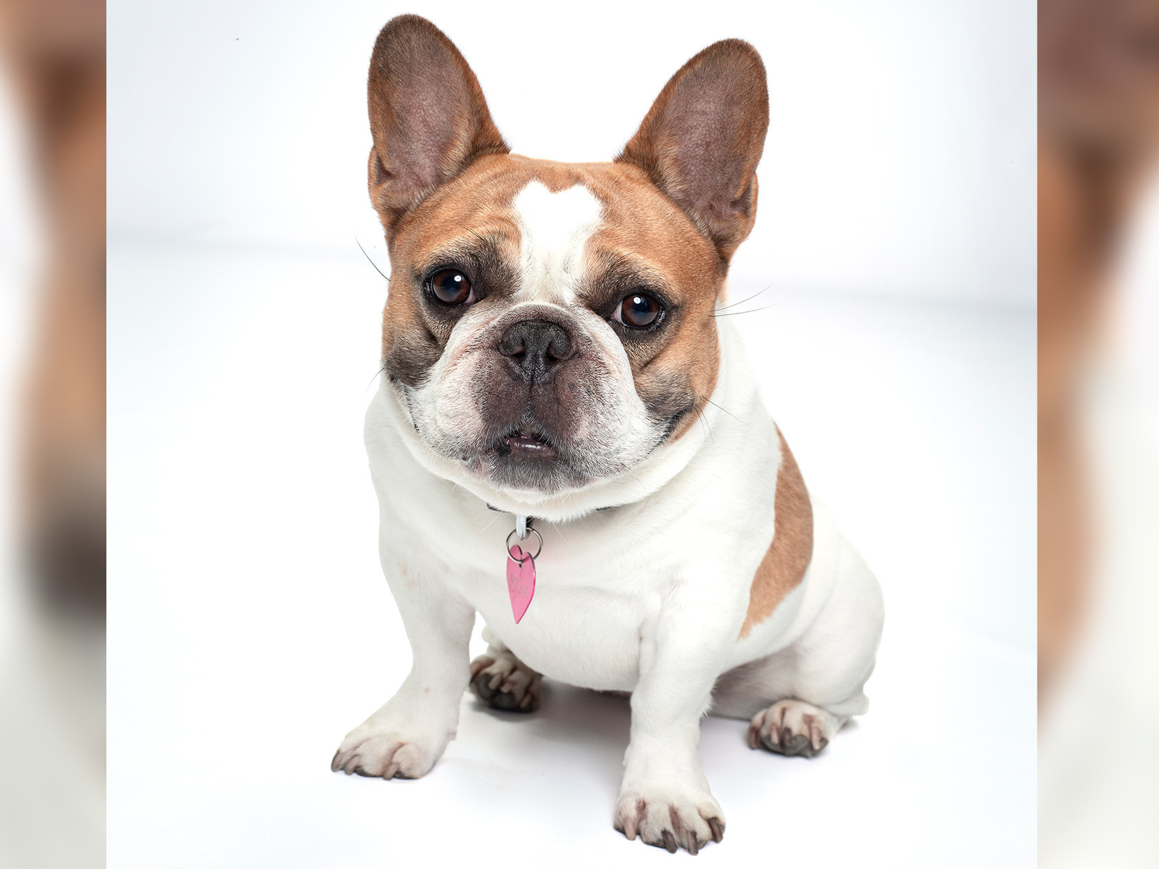 The French bull dog who played Stella on 'Modern Family' dies shortly after series wrap