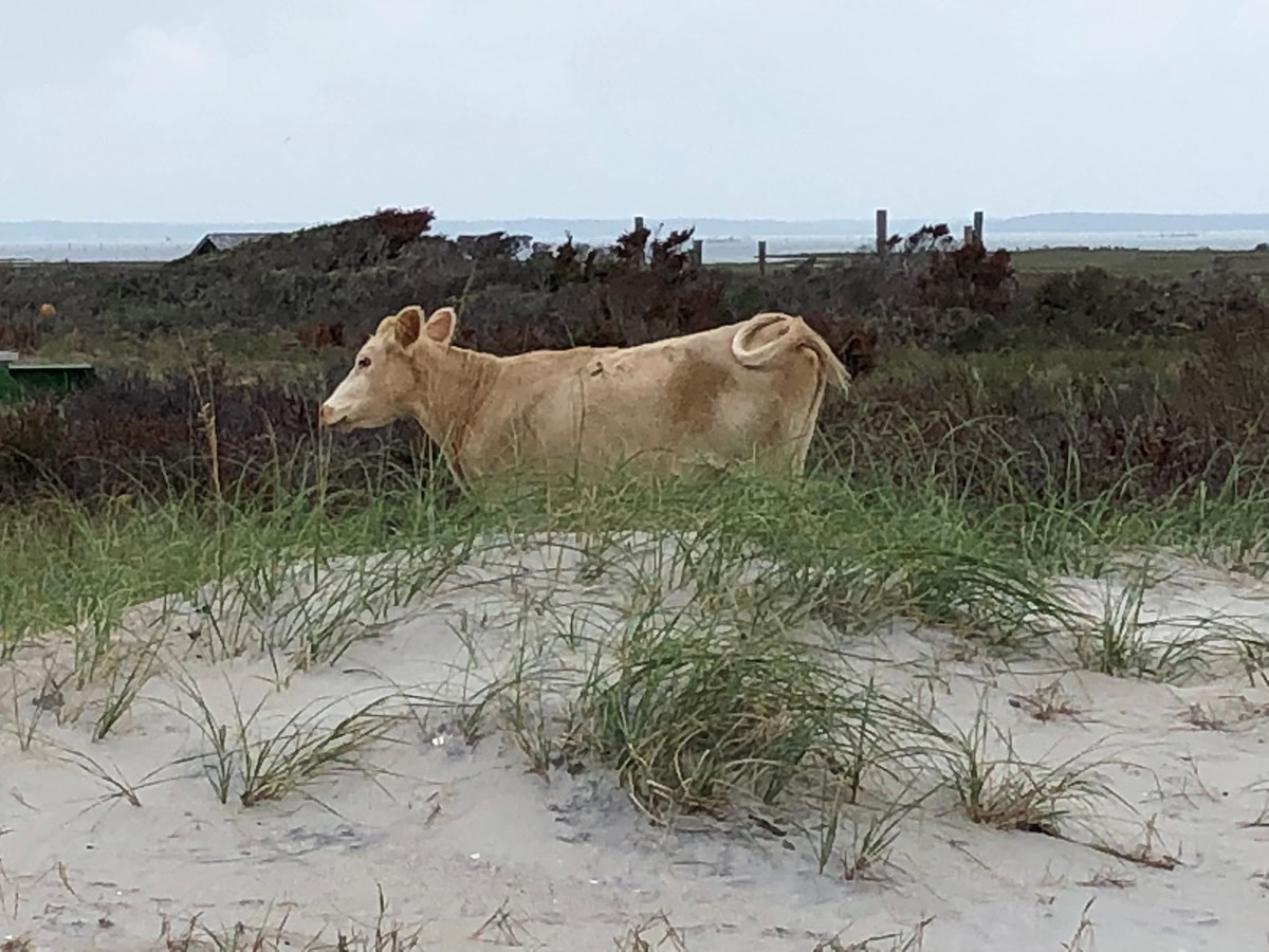 Bright spot: New photos of miracle 'sea calf' born to pregnant cow that swam 4 miles after Hurricane Dorian