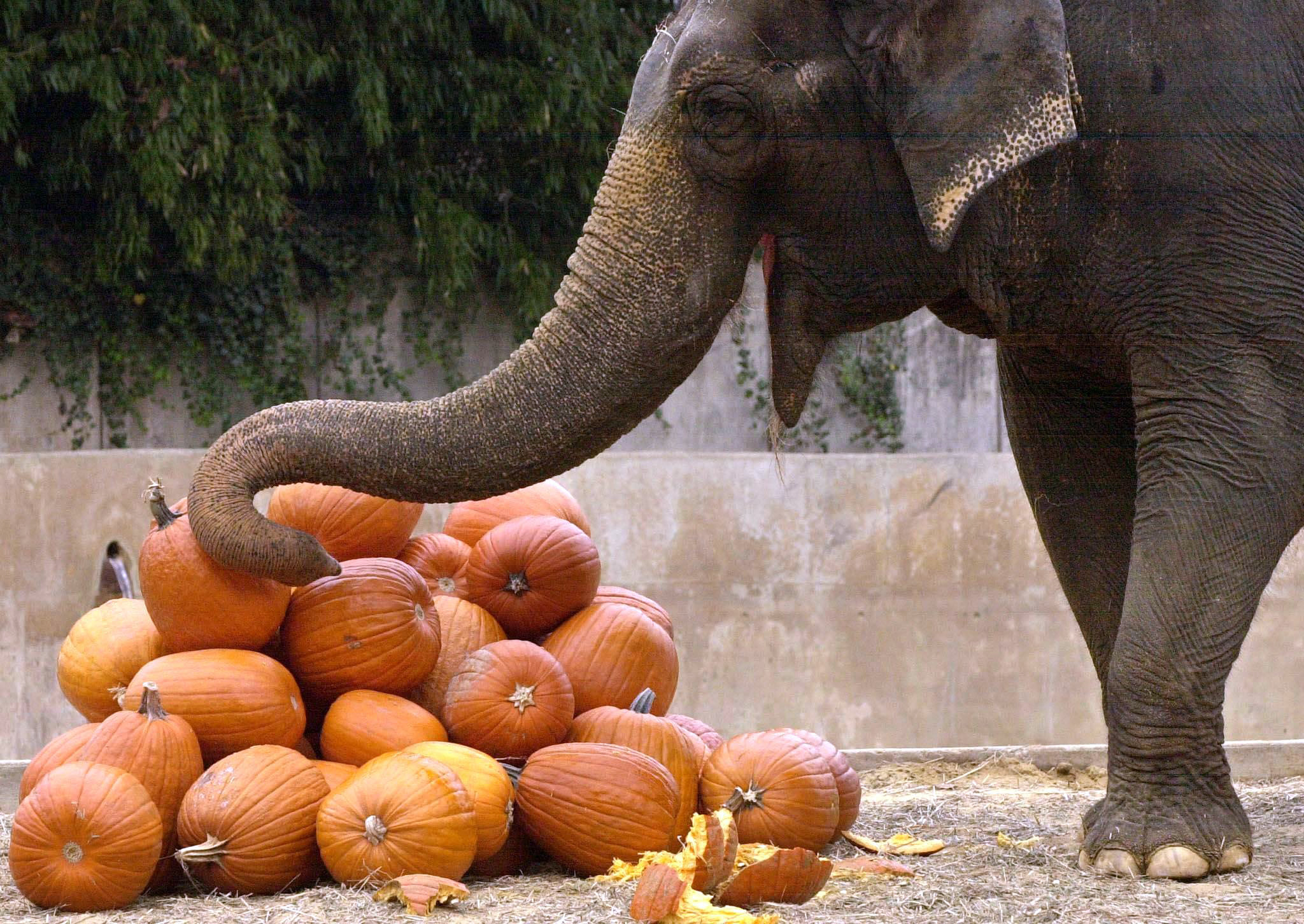Beloved 72-year-old Asian elephant euthanized at National Zoo
