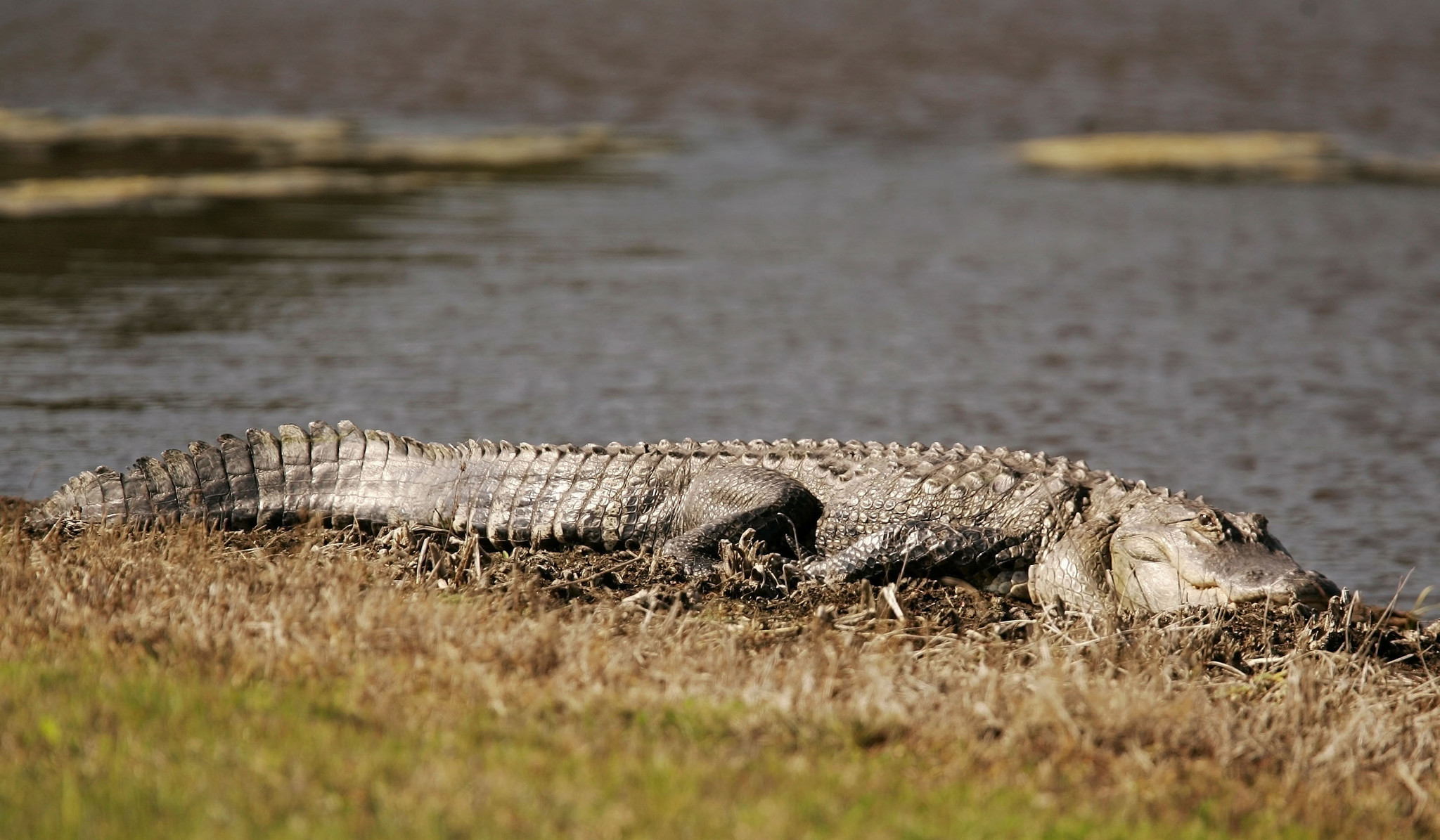 Florida officials tell people to stay one alligator apart