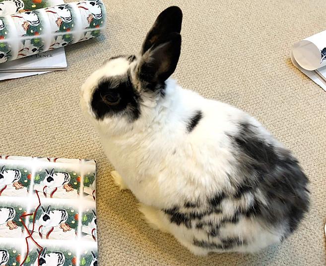Mike Pence's rabbit Marlon Bundo joins the coronavirus battle